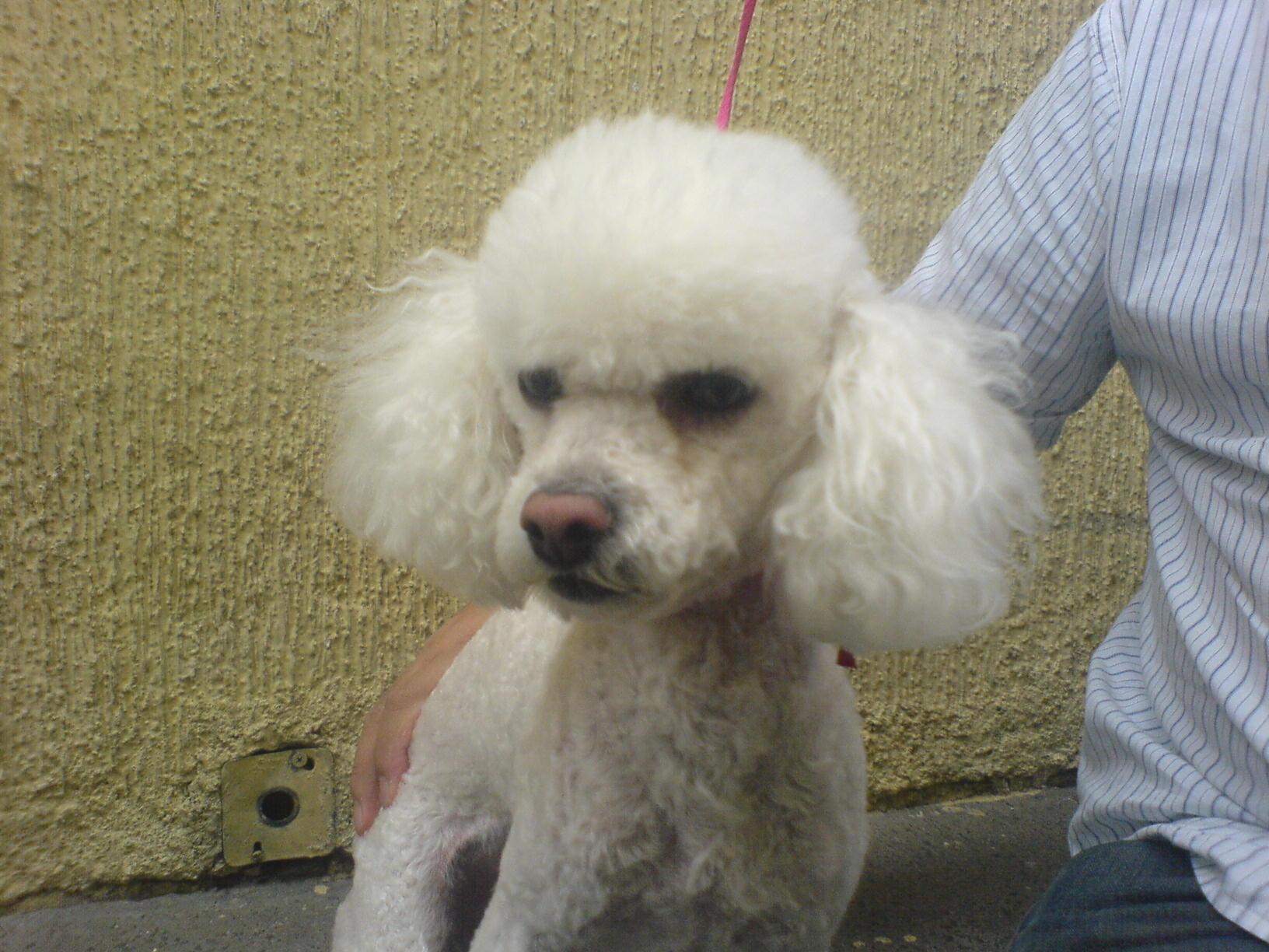 Poodle toy en adopcion