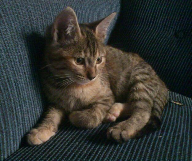 Gato Hembra en adopciónPublicado el 12 de diciembre del 2012